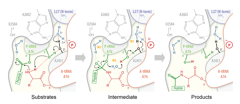 Proton wire model for peptide bond formation