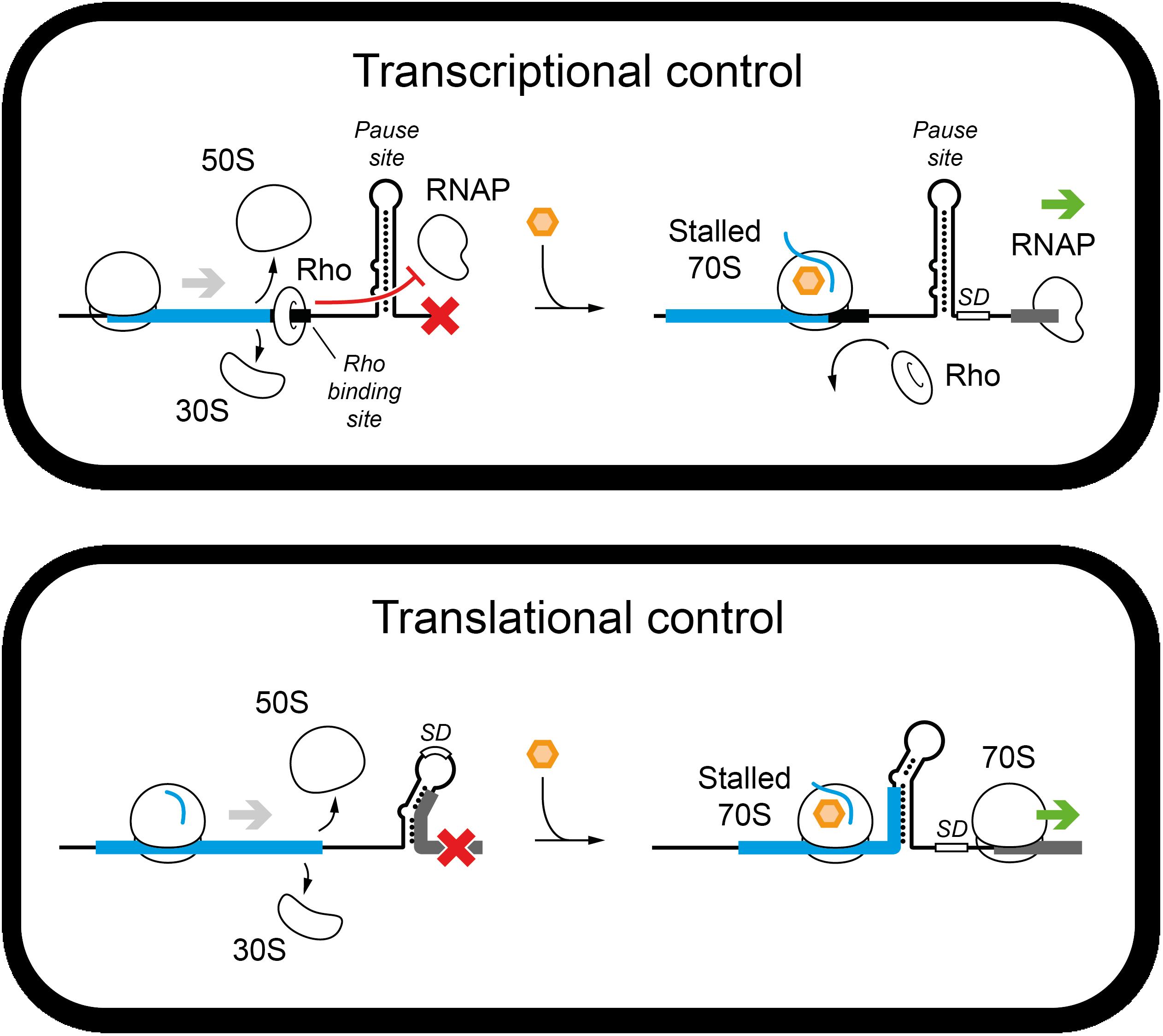 gene_regulation_by_arrest_peptides_with_metabolites